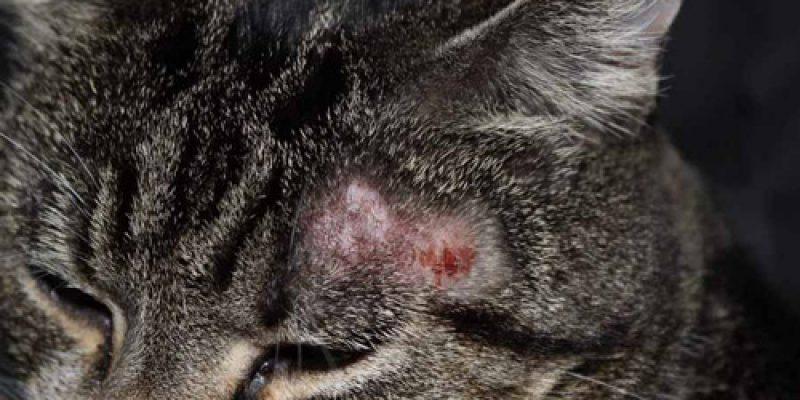 Как выглядит лишай у кошек: виды, симптомы начальной стадии, а также чем лечить в домашних условиях