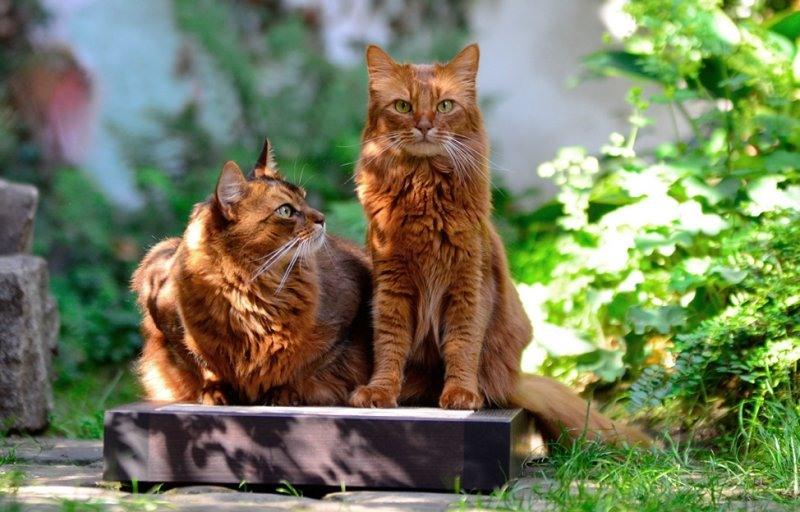 кошки породы Сомали