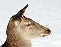 Cervus elaphus (female).jpg