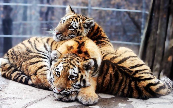 Самец и самка тигра