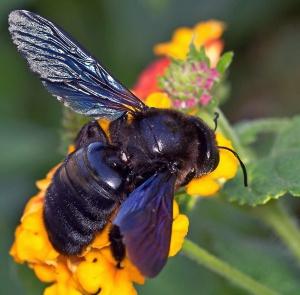 Пчёлы плотники фото