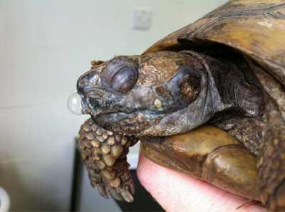 Болезни сухопутных черепах в домашних условиях