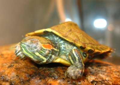 Спячка красноухой черепахи: как правильно ввести и вывести из спячки?