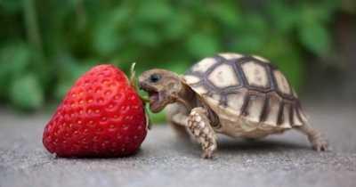 Чем и как кормить сухопутную черепаху?