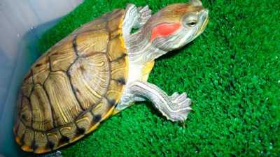 Красноухая черепаха заболела тимпанией, симптоматика и лечение