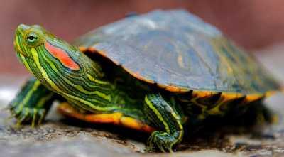 У красноухой черепахи треснул панцирь, лечение травмы