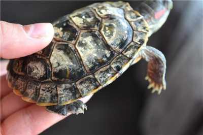 У красноухой черепахи появился грибок, лечение и профилактика