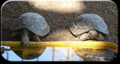 Поилки для сухопутных черепах, типы и разновидности