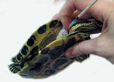 Как делать уколы черепахе?
