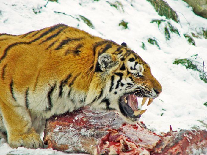 Тигр с добычей