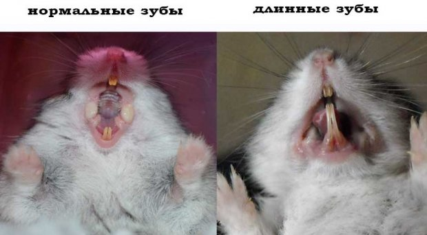 Зубы хомяка
