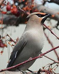 Птичка с хохолком на рябине