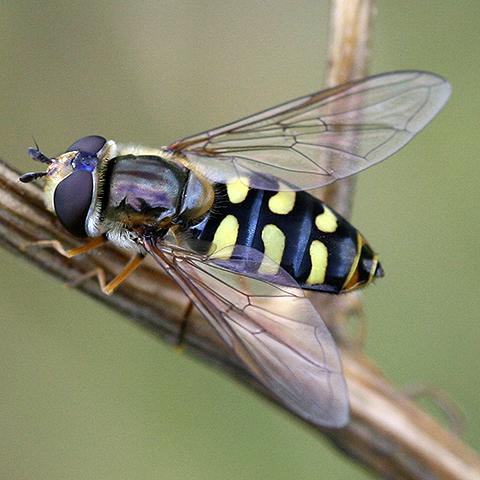 Крылья насекомых - Муха-сирфида