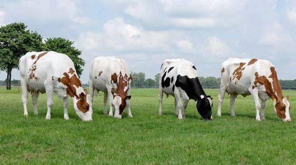 Голштинская порода коров: характеристика и описание, недостатки и особенности породы