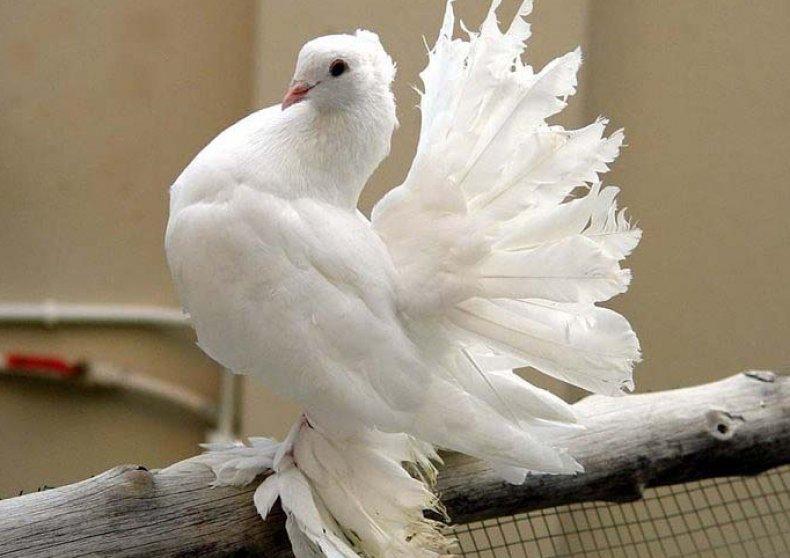 Павлиний голубь