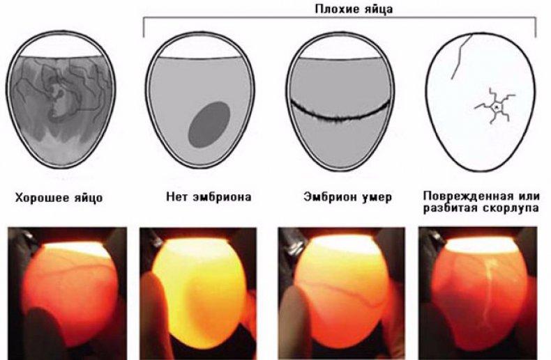 Состояния яйца при овоскопировании
