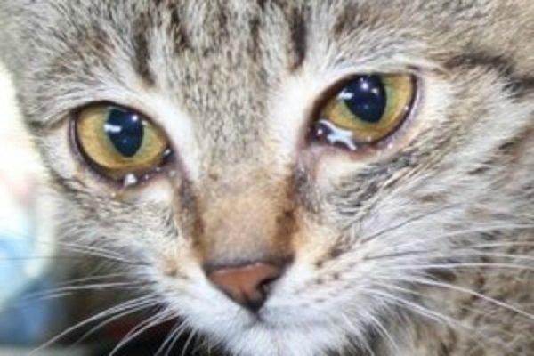 Выделения из глаз – симптом вирусного недуга у кошки