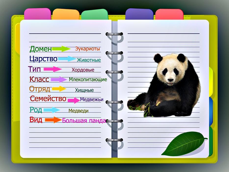 научная классификация панда