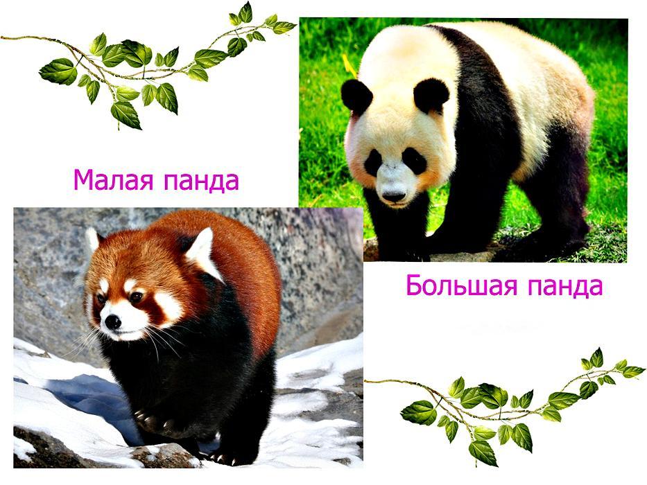 большая и малая панда
