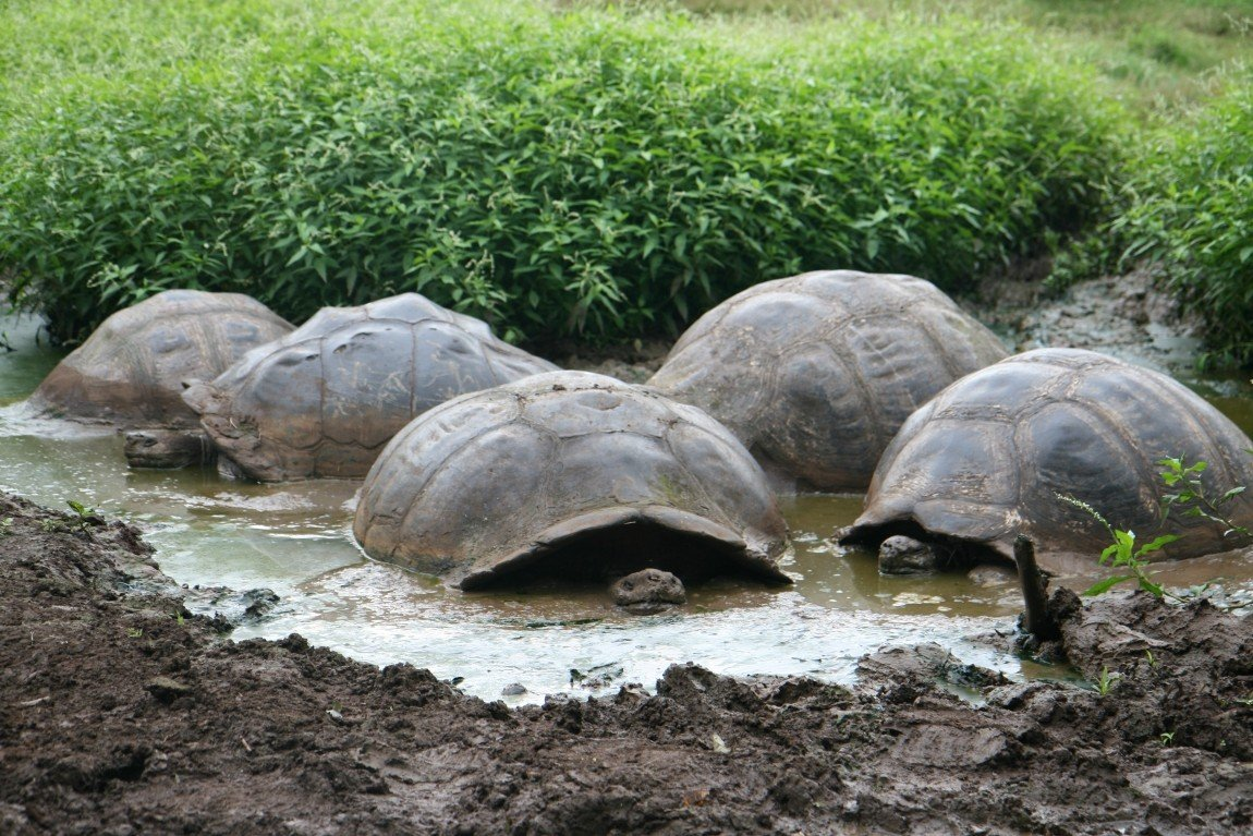 Почти как наши поросята, слоновые черепахи любят понежится в жидкой грязи. И делают это чисто из гигиенических соображений. Как и простые свиньи черепахи так избавляются от паразитов.
