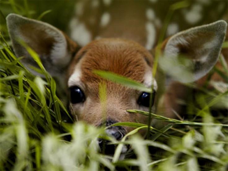 Благородный олень: описание вида, где обитает