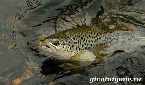 Форель-рыба-Образ-жизни-и-среда-обитания-рыбы-форель-1