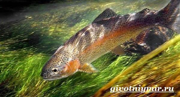 Форель-рыба-Образ-жизни-и-среда-обитания-рыбы-форель-5