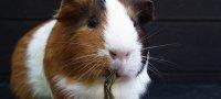 Питание морских свинок: что они едят в домашних условиях