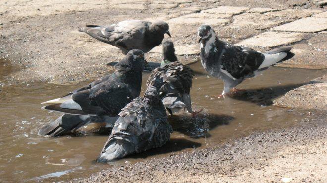 Городские голуби за принятием водных процедур