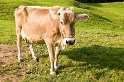Швицкая порода коров