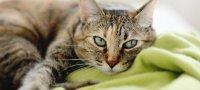 Сахарный диабет у кошек: симптомы, лечение, профилактика
