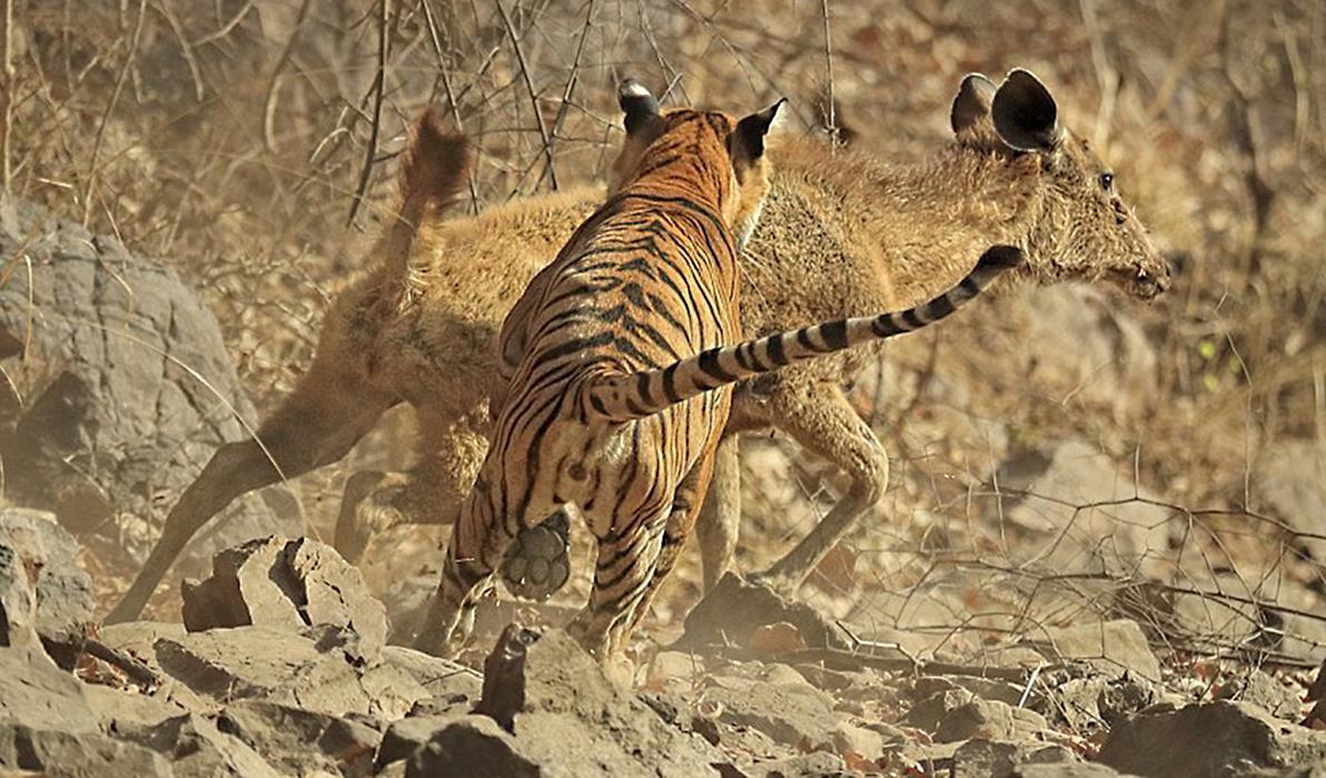 животное тигр охота