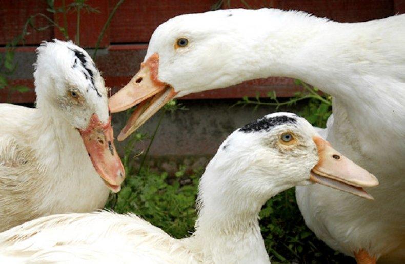 Энрофлон- инструкция по применению для птиц в ветеринарии