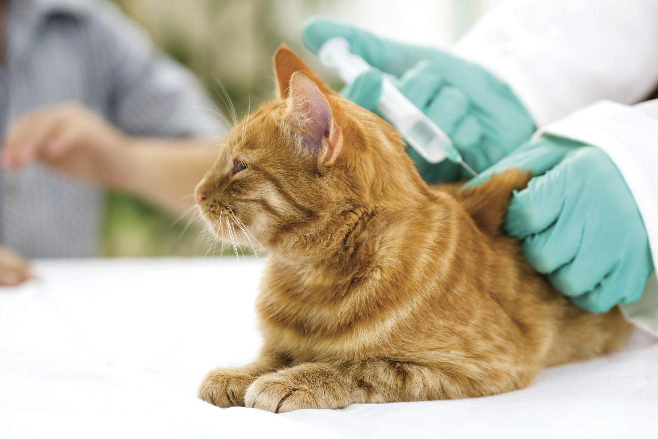 Введение вакцины в холку животного