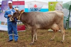 Красивая корова Швицкой породы
