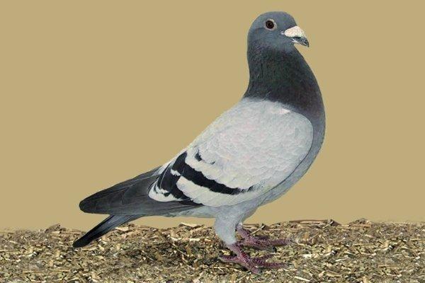 Бельгийский голубь