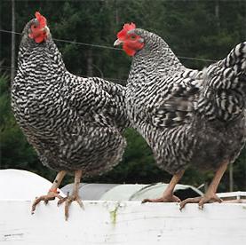 цветные цыплята