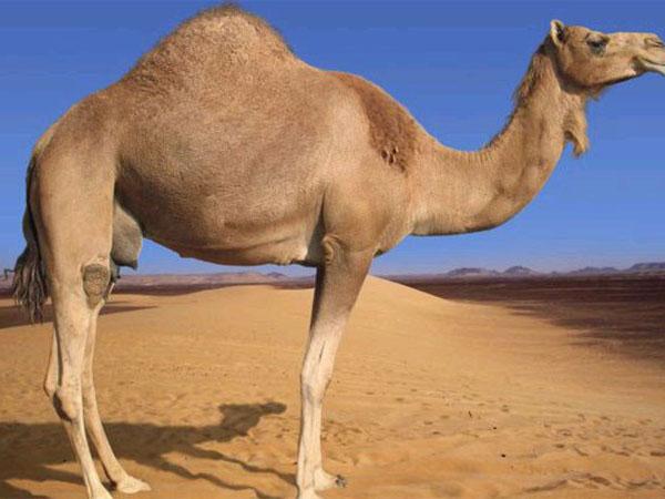 Вес верблюда