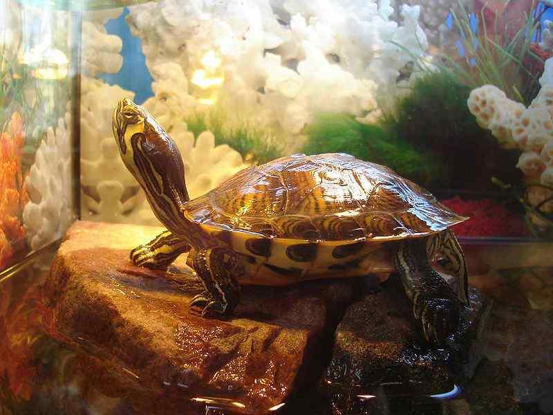 Аквариум для красноухой черепахи