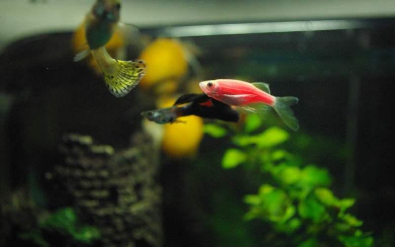 Аквариумные рыбки данио