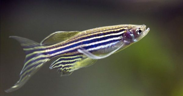 Данио зебра или рыбка данио рерио