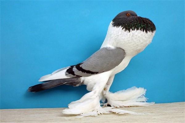 Порода голубей дутыши фото