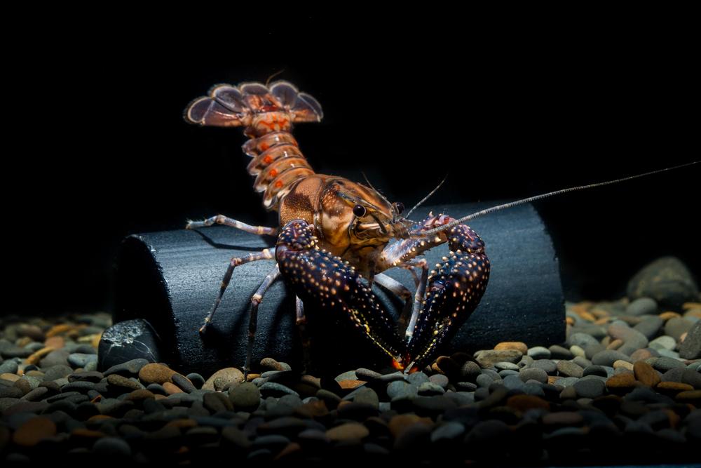 Содержание речных раков в аквариуме