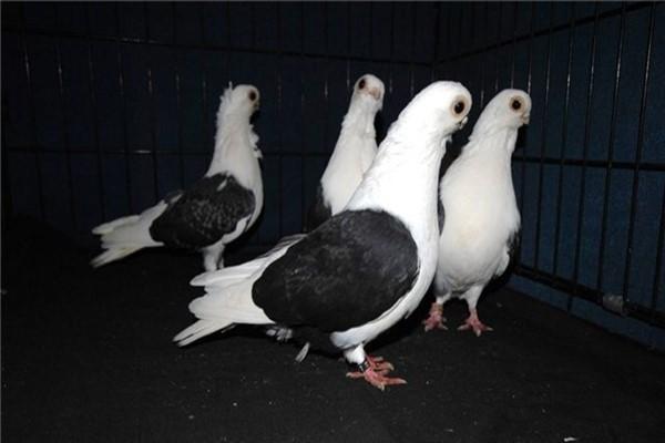 Мичуринская чайка фото