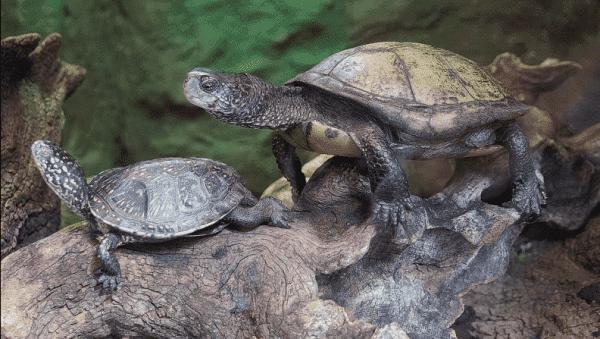 Красивая европейская болотная черепаха