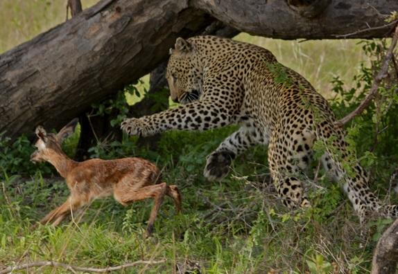 чем питается амурский леопард