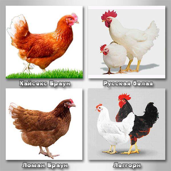 Лучшие яичные породы кур для дома