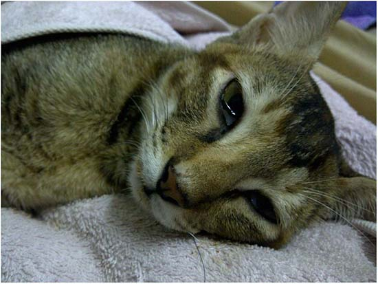 панлейкопения у кота
