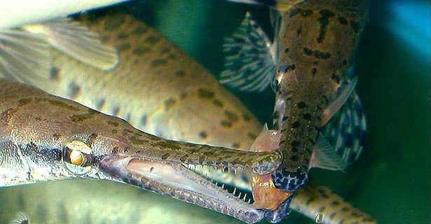 Панцирная щука в аквариуме