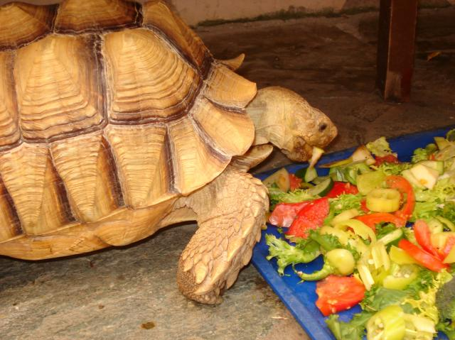 Питание сухопутной черепахи
